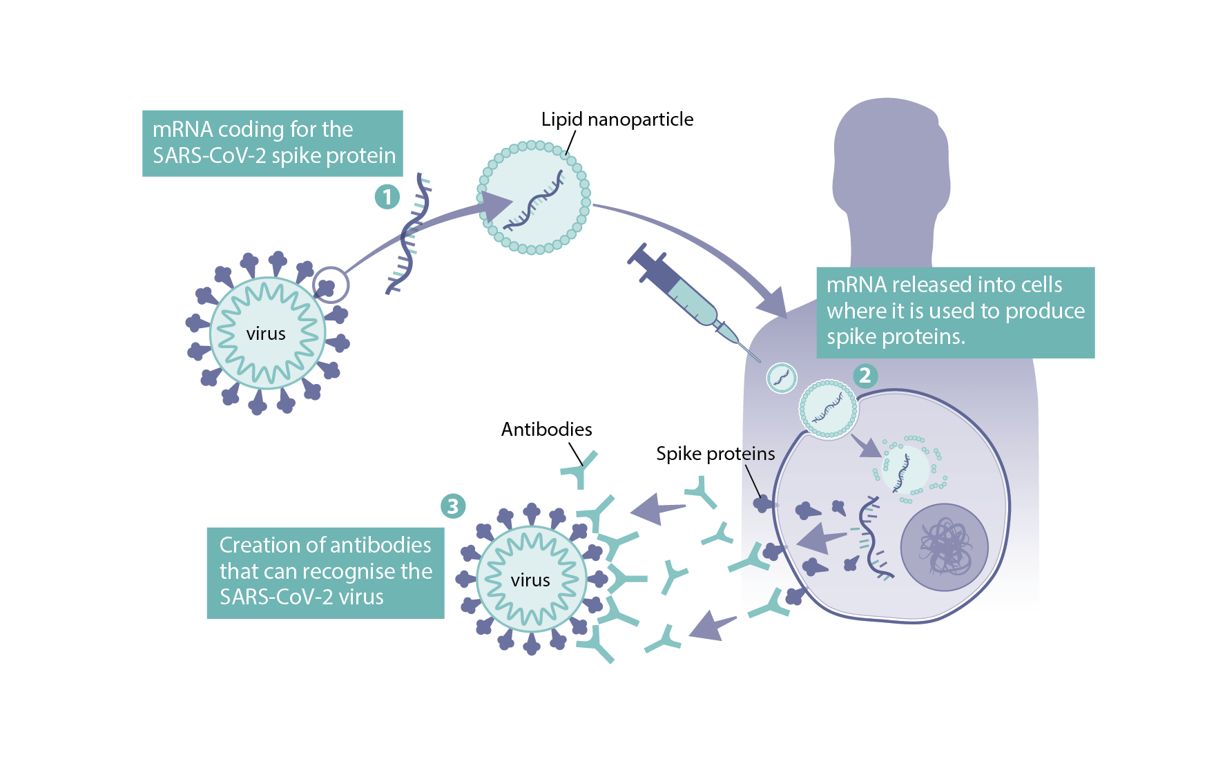 How mRNA vaccines work for COVID-19